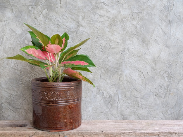 Aglaonema houseplant chinese evergreen in vintage container  on wood  shelf