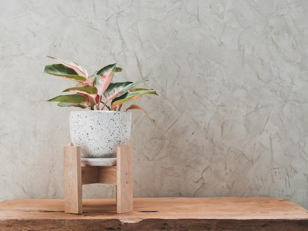 Комнатное растение аглаонема в современном бело-черном керамическом контейнере