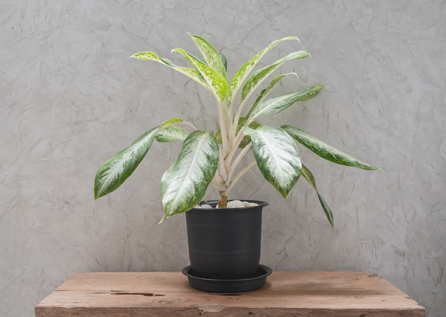 Aglaonema houseplant in modern  black container  on teak wood table with concrete wall