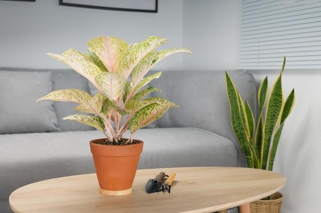 거실에있는 나무 테이블에 항아리에 aglaonema laksap. 실 내용 공기 정화 장치.