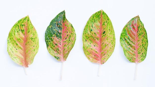 Aglaonema는 흰색 바탕에 나뭇잎.