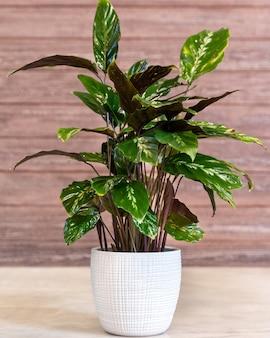 Aglaonema maria, 흰색 냄비에 중국 상록수