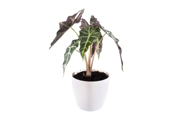 Aglaonema plant in white pot isolated on white background. indoor plant.