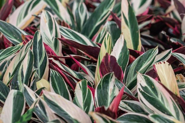 庭の鍋にカラフルなaglaonema植物を閉じる葉