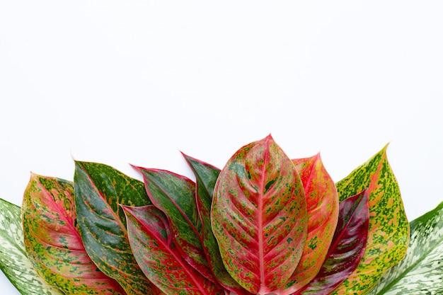カラフルなaglaonemaの葉白で分離