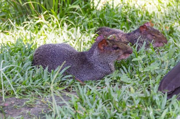 Агути на открытом воздухе в парке в рио-де-жанейро.