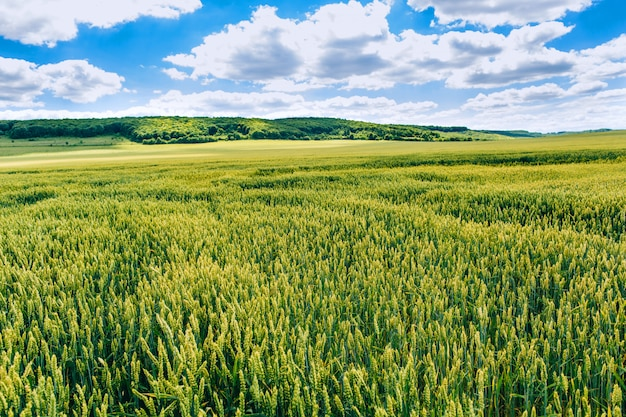 Agrarian industry. wheat field . green field with ears of wheat in the summer