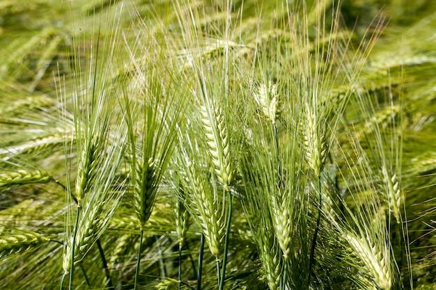 小麦を育てる農業活動