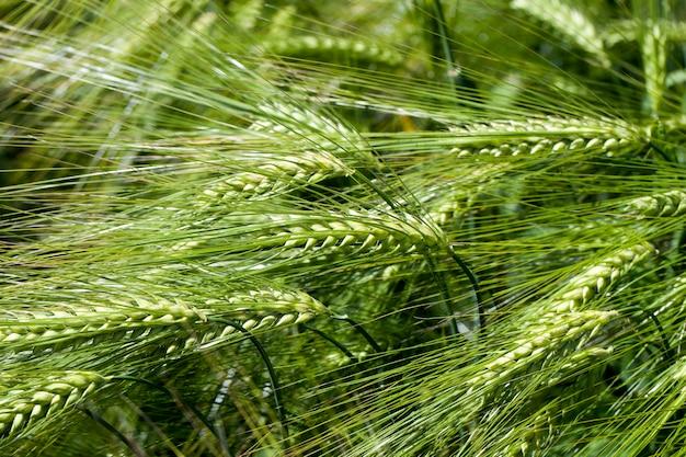 Сельскохозяйственная деятельность по выращиванию пшеницы