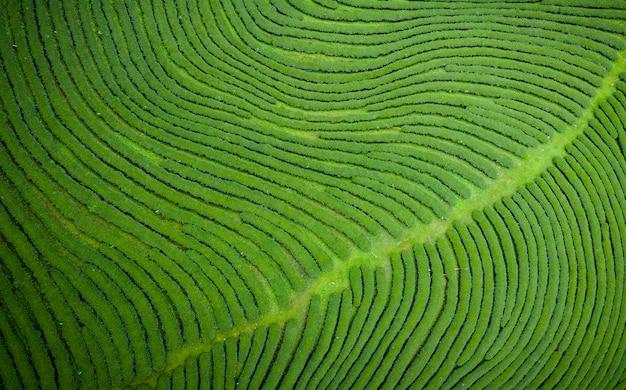 Agricultural area green tea on mountain chiang rai thailand