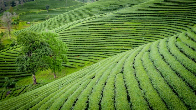 Agricultural area green tea on mountain chiang rai thailand