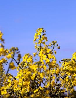 Сельскохозяйственные угодья, на которых растет желтый цветущий рапс под голубым небом днем. крупный план, сосредоточиться на цветах