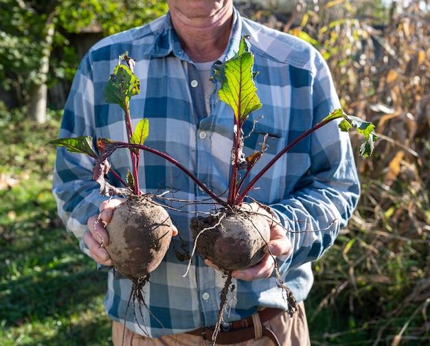 농업 개념. 신선한 비트 뿌리를 들고 농부입니다. 유기농 야채 수확