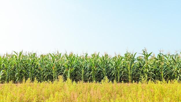 화창한 날에 농업 옥수수