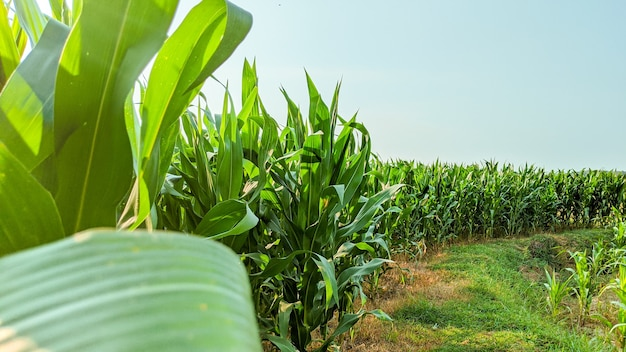 Agricultural corn in sunny day