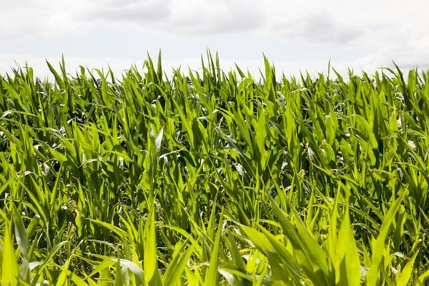 Кукуруза сельскохозяйственная