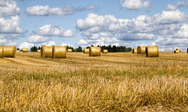 Сельскохозяйственное поле после сбора пшеницы для еды, пшеница превращается в муку