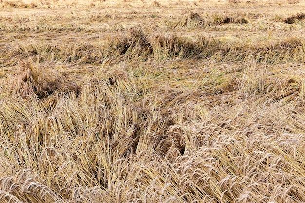 食糧用のライ麦を収穫する前の農地、ライ麦は小麦粉になり、わらは畜産に使用され、クローズアップ