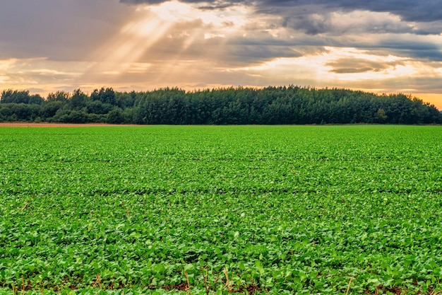 Agricultural field under blue sky and shining sunlight