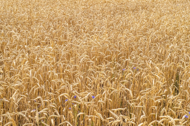 Сельскохозяйственное поле созревания колосьев золотой пшеницы