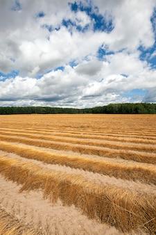 Сельскохозяйственное поле, на котором собирают лен. осень.
