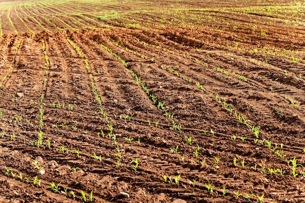 とうもろこしが育つ農地。未熟なトウモロコシ