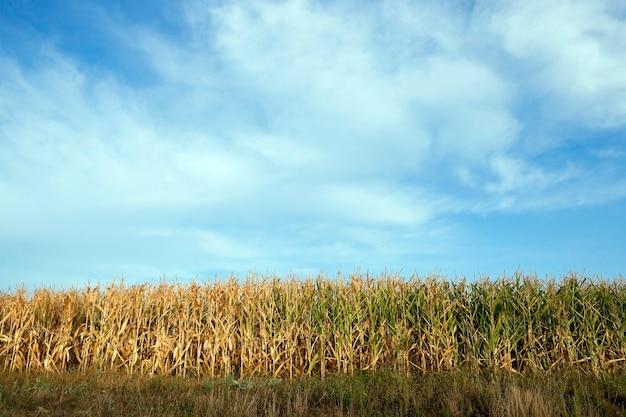 Сельскохозяйственное поле, на котором растут зеленая незрелая кукуруза, сельское хозяйство, небо