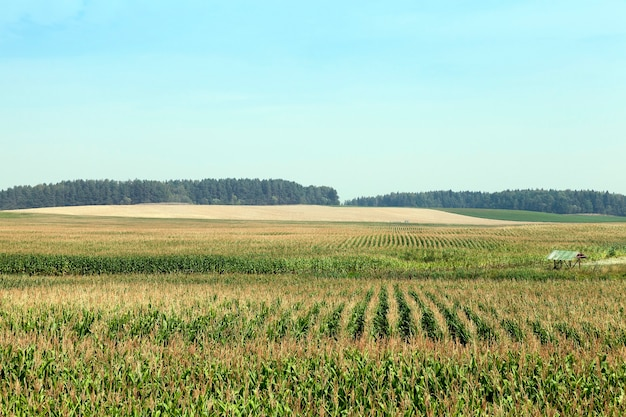 Сельскохозяйственное поле, на котором растет зеленая незрелая кукуруза. на заднем плане голубое небо и лес