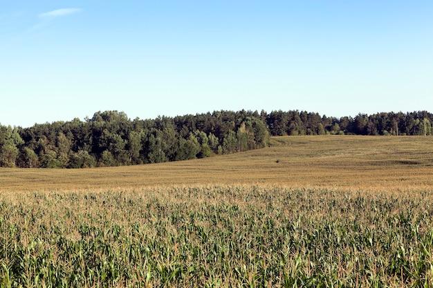緑の未熟トウモロコシが育つ農地。夏