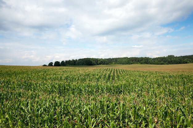 Сельскохозяйственное поле, на котором растут незрелая незрелая кукуруза