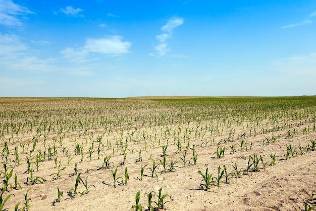 緑の未熟トウモロコシが育つ農地