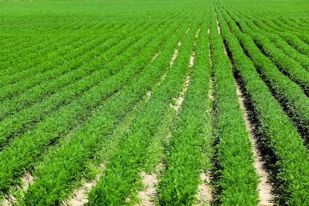 Сельскохозяйственное поле, на котором растут зеленая молодая морковь, сельское хозяйство, сельское хозяйство