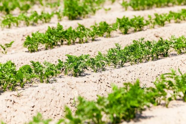 Сельскохозяйственное поле, на котором растут молодые зеленые моркови.