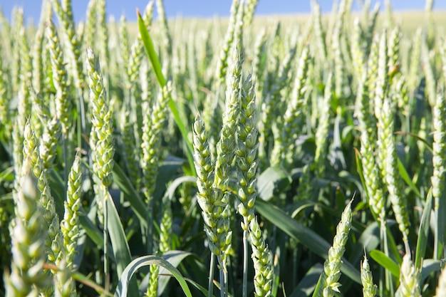 미성숙 곡물, 밀을 재배하는 농업 분야.
