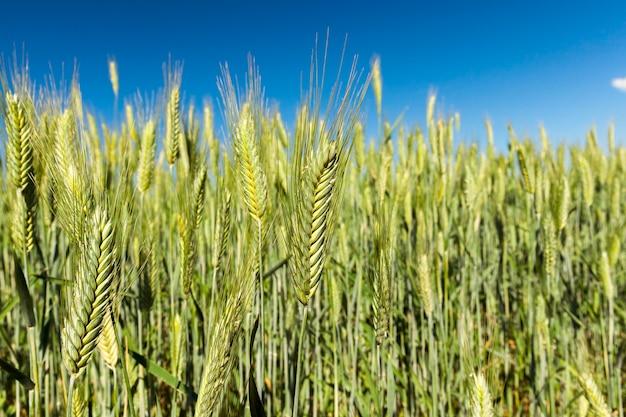 Сельскохозяйственное поле, на котором растут незрелые злаки, пшеница.
