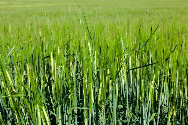 未熟な穀物、小麦を栽培する農地。