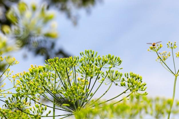 Сельскохозяйственное поле, на котором растет незрелый зеленый укроп