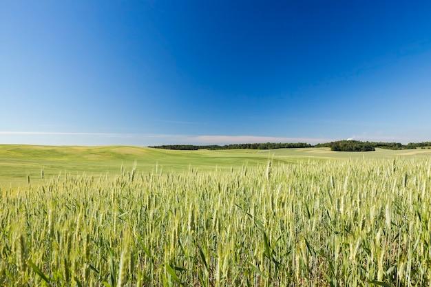 Сельскохозяйственное поле, на котором растут незрелые молодые злаки, пшеница. голубое небо на заднем плане