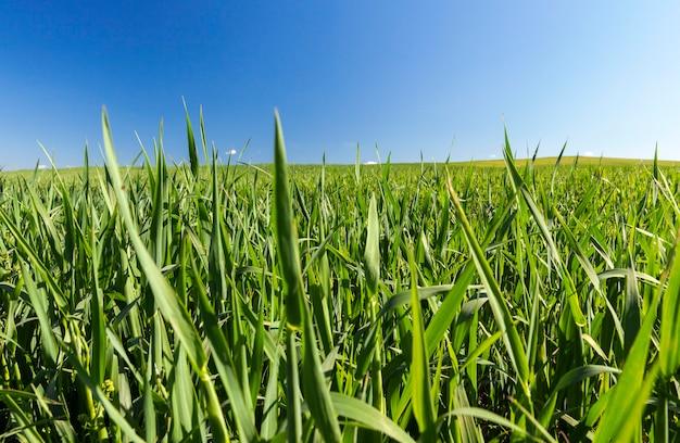 미성숙 어린 곡물, 밀을 재배하는 농업 분야. 표면에 푸른 하늘