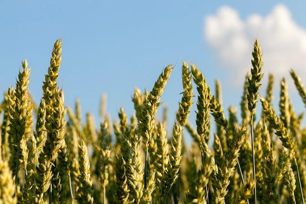 Сельскохозяйственное поле, на котором растут незрелые молодые злаки, пшеница. голубое небо с облаками на заднем плане