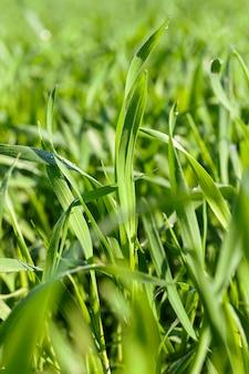 미성숙 어린 곡물, 밀을 재배하는 농업 분야.