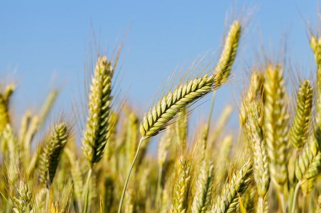 未熟な若い穀物、小麦を育てる農地。