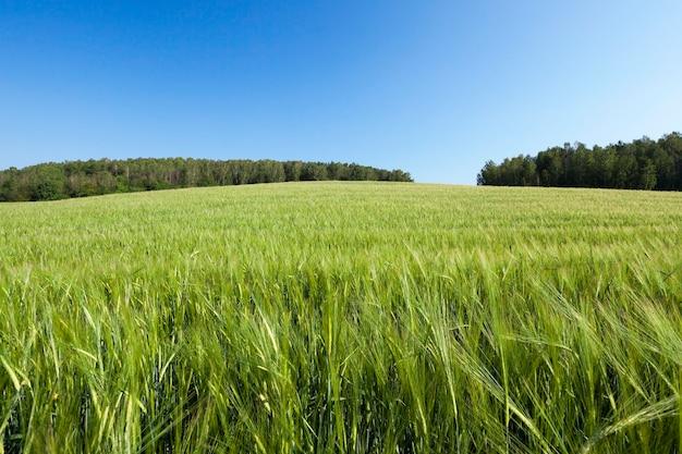 Сельскохозяйственное поле, на котором растут незрелые молодые злаки, пшеница.