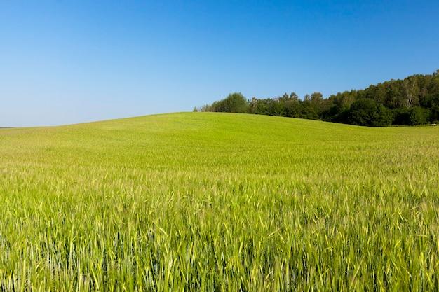 Сельскохозяйственное поле, на котором растут незрелые молодые злаки
