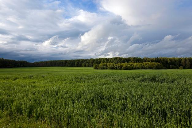 未熟な若い緑のオーツ麦が育つ農地。背景には森が見えます。曇り。