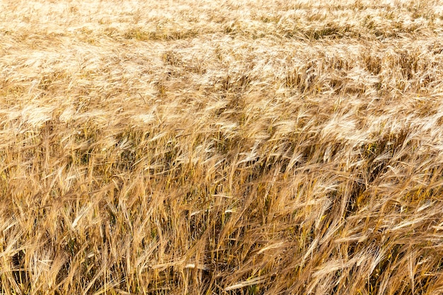 収穫の準備ができている熟した黄色い小麦を育てる農地