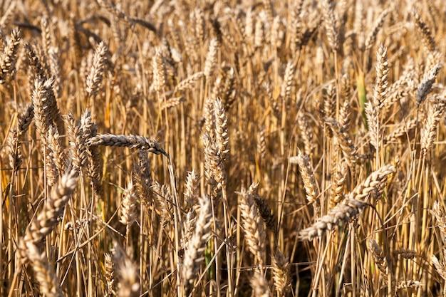 Сельскохозяйственное поле, на котором выращивают спелую желтую пшеницу, готовую к сбору урожая