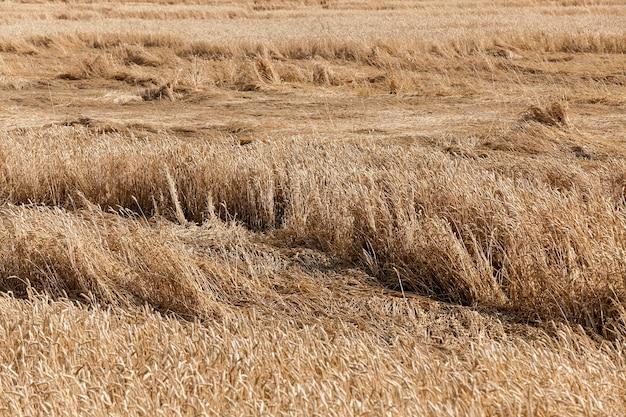 熟した黄ばんだ穀物が育つ農地