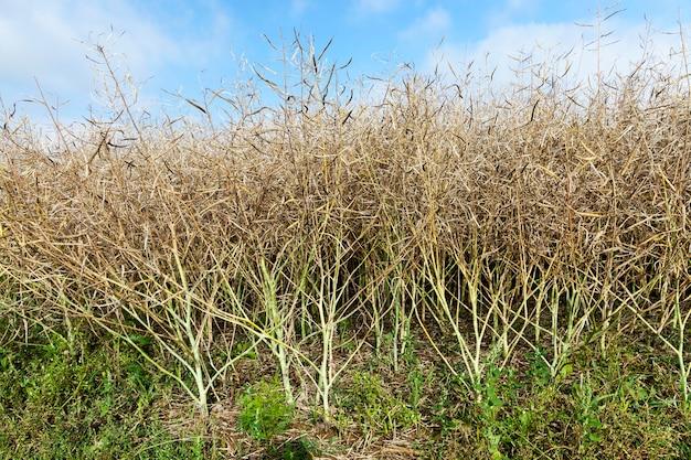 Сельскохозяйственное поле, на котором растут созревающий рапс, фото крупным планом
