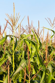 まだ緑の未熟トウモロコシが育つ農地